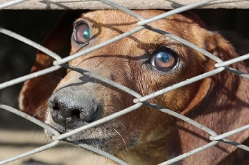 A closeup of a dog looking through a chain link fence