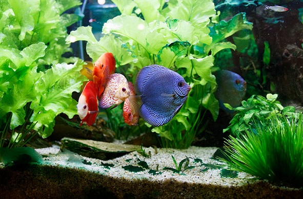 Fish swimming in a home aquarium