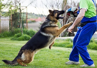 A German Shepherd dog playing ball with a human