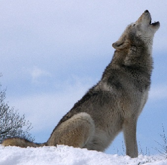 Grey wolf with its head up howling at the sky