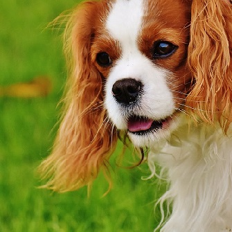 A King Charles Spaniel appears in deep thought.