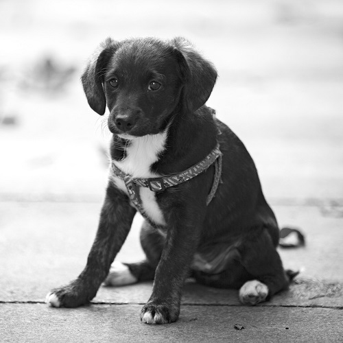 A puppy with harness and collar sitting on the street looking sad and lost