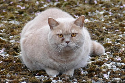 An overweight cat crouches in the grass