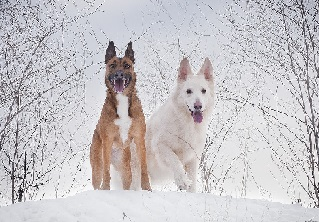 Two large senior dogs in snow