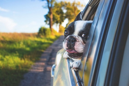 Boston Terrier with his head out of a car window